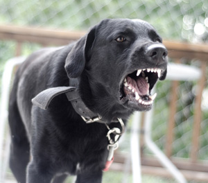 Aggressive Behavior Dog Training Dayton OH - Train Your Pup - aggressv